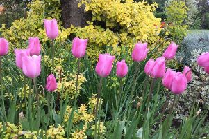 Tulips are currently at their best in the garden. Picture by Tom Pattinson.