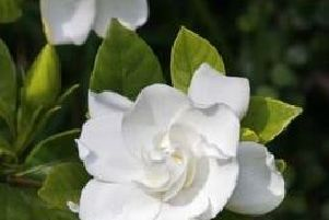 In early summer, this classic evergreen shrub bursts into flower with thick, white and waxy blossoms that release an intoxicating aroma which can perfume an entire garden. ''This sophisticated white flower has inspired several perfumes, including Chanel's Gardenia and Marc Jacobs Eau de Perfume.