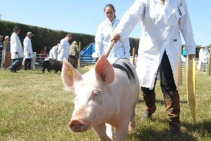A pig entry at last year's Tockwith Show. (S)