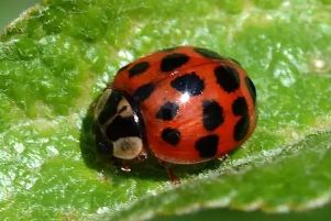 According to experts, they are more than likely Harlequin Ladybirds, a breed from Asia and North America that travel across on mild autumn winds.