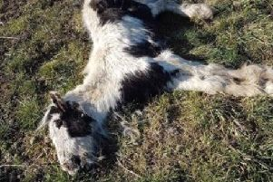 The dead animals were found today in the village of Blaxton near Doncaster.