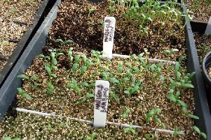 Some of the successful germinations. Picture by Tom Pattinson.