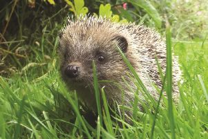 Cute but endangered: The Hedgehog. But Harrogate readers can help.  (Picture by Sheila Lodey)