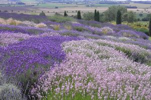 Lavender oil is known for its calming and relaxing properties, and has been used aroma therapeutically for alleviating insomnia, anxiety, depression, restlessness, and stress