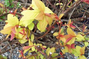 Spiraea japonica Goldflame, pruned hard to encourage new golden/pink shoots.