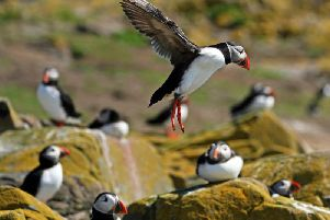 A five-yearly puffin census currently takes place - but it is going to become an annual thing.