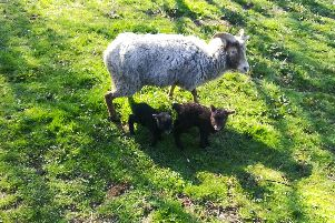 The lambs were stolen in Doncaster on Saturday.