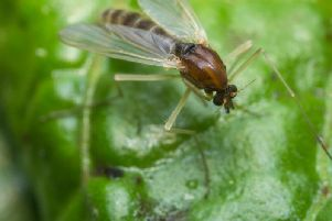 Gnats thrive in warmer conditions and are a staple of an English summer garden.