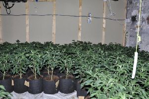 Some of the plants discovered in the vast cannabis farm