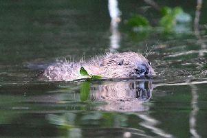 Beavers are to be reintroduced to the north west in an enclosed trial on the Lowther Estate, Cumbria. Picture: David Parkyn/Cornwall Wildlife Trust