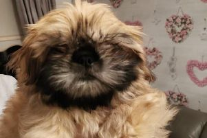 Rescued - Joy the shih tzu