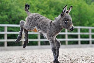 The donkey foal has star potential.