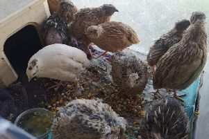 Ten quails are now recovering at Whitby Wildlife Sanctuary.