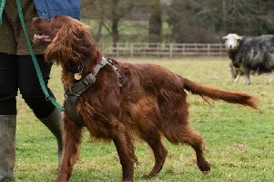 Charity survey reveals almost a quarter of dog owners report that their pet has chased animals, including livestock