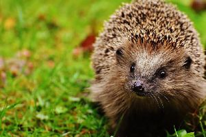 A correspondent is concerned about the plight of hedgehogs and other wildlife