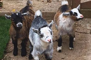 The pet goats are now back home.