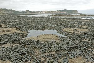 Scarborough Council is set to give its backing to a plan to establishEnglands first commercial seaweed hatchery in the waters off the towns coast. PIC: Tony Johnson