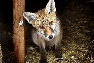 Another of the fox cubs. PIC: Richard Ponter