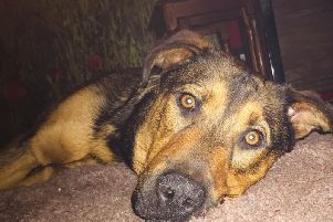 Rolo the Belgian Malinois and Rottweiler cross puppy who was dumped last June