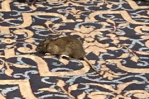 A rat in the Benjamin Hunstman pub in Sheffield (photo: Neil Fletcher).