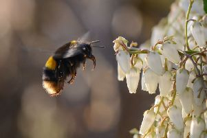 Queen buff-tailed bumblebee by Tim Melling.