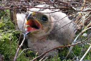 One of the recently hatched Hen Harrier chicks. Photo RSPB.