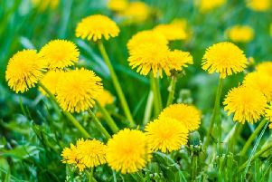 This flowering plant has traditionally been used as a liver tonic, useful for detoxification and improving liver function