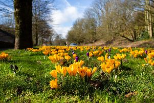 Spring has arrived with crocus flowers on the roadside