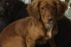Cocker spaniel Purdy went missing from an address on Potter Avenue, Lupset, on Friday, March 15.