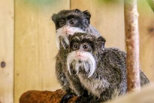 The new-born Emperor Tamarin twins which have been named after Aljaz and Janette