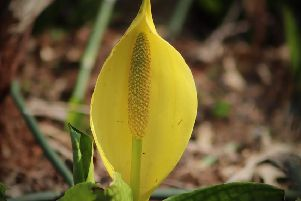 American Skunk Cabbage.