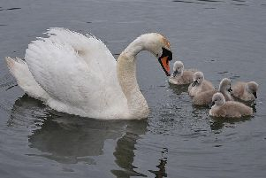 The female swan and her cygnets: Picture captured by David Bretherton