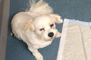 Billy, a 6-year-old Cavachon (Cavalier King Charles and Bichon Frise cross) had to be rushed to the vets after eating a cookie laced with cannabis on a walk in Leyland on Saturday (September 14)