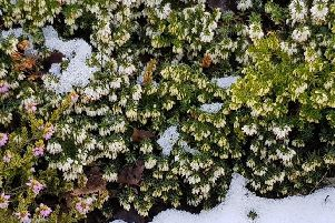 Erica carnea has been defying the cold weather. Picture by Tom Pattinson.