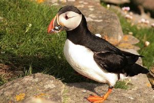 Send your puffin pictures to the RSPB