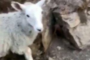 The sheep which was stolen