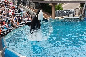Killer whale show at a Sea World resort in San Diego.