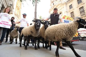 A flock of sheep are herded past government buildings in Whitehall, London, by Farmers for a People's Vote. PRESS ASSOCIATION Photo. Picture date: Thursday August 15, 2019.