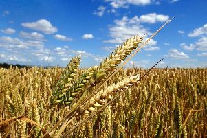 Access to the biofuels market for feed-grade wheat has been estimated to be worth an extra 10 per tonne to farmgate prices. Picture by Simon Hulme.