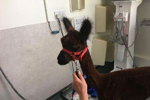 Julian Norton had an alpaca as a patient and it needed an X-ray.