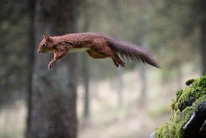 A red squirrel takes flight in Wensleydale