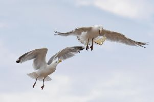 Scarborough Council have discussed ways to prevent seagulls attacking humans for food. Credit: Daniel Martino