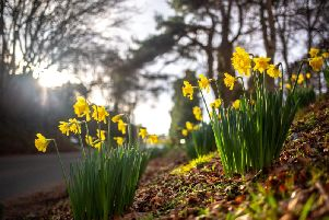 Daffodils usually bloom between March and April