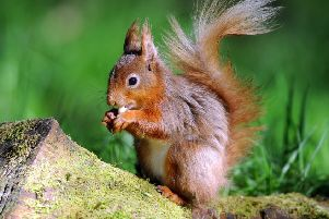 A red squirrel in woods near Hawes in the Yorkshire Dales. Picture by Tony Johnson.