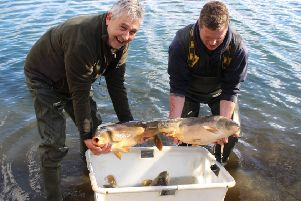 Bailiffs Steve Fearnley and Lee Garrad about to release the picture book carp into their new home at Leeds and District's Knotford Fishery.