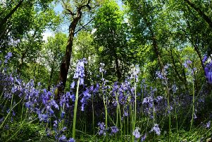 Bluebells are appearing an average of five days earlier than they were 50 years ago, according to the Woodland Trust. Picture by Scott Merrylees.