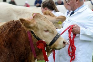 There were 290 entries of cattle at the 210th Otley Show. Picture by Simon Hulme.