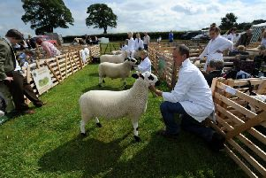 Sheep judging at the 41st North Yorkshire County Show. Picture by Gerard Binks.