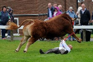 The bull raging during the Great Yorkshire Show incident