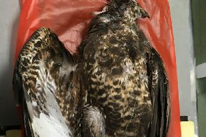 A Buzzard shot and killed in North Yorkshire.